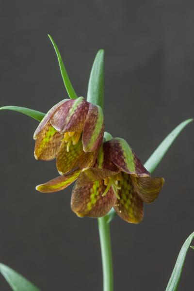 Fritillaria davisii (Exhibitor: Ian Robertson)