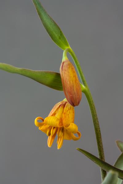 Fritillaria eastwoodiae (Exhibitor: Colin Everett)