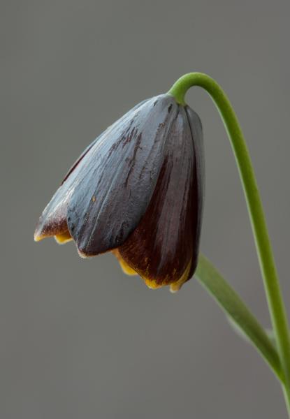 Fritillaria ehrhartii (Exhibitor: Colin Everett)