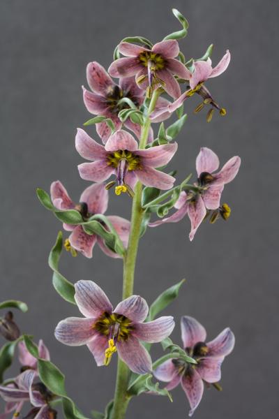 Fritillaria gibbosa (Exhibitor: Bob & Rannveig Wallis)