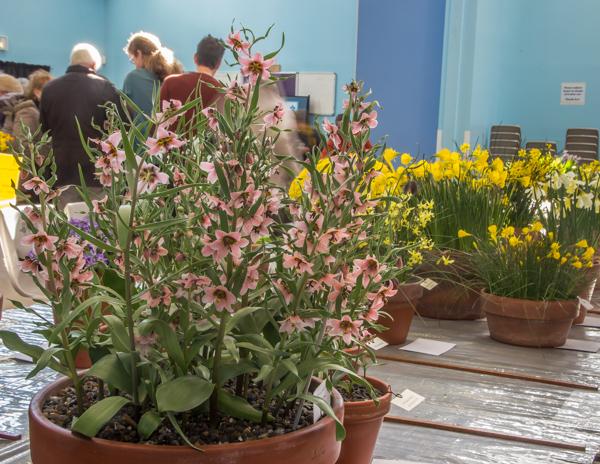 Fritillaria gibbosa (Exhibitor: John Kemp)