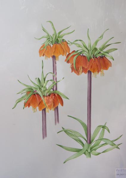 Fritillaria imperialis (Exhibitor: Rannveig Wallis)