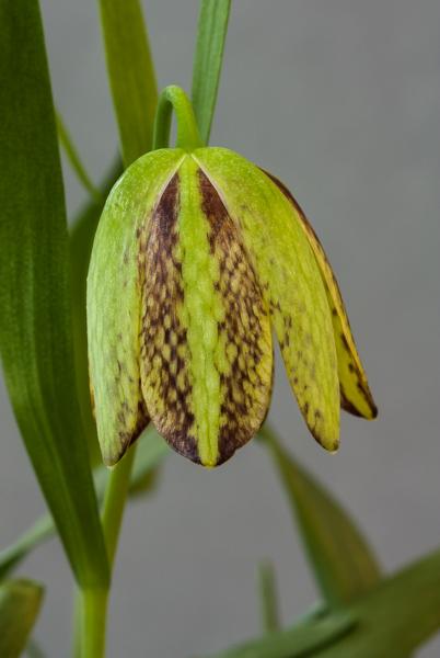 Fritillaria kotschyana (Exhibitor: Ian Robertson)