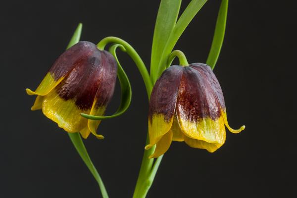 Fritillaria michaelovskyi (Exhibitor: Brenda Nickels)