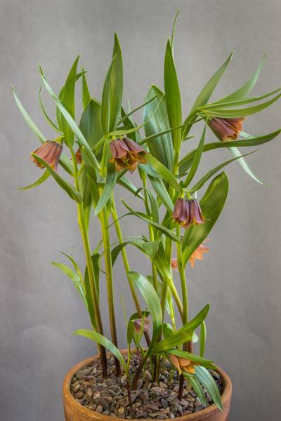 Fritillaria minuta (Exhibitor: George Elder)