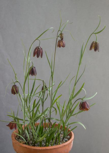 Fritillaria montana (Exhibitor: Bob & Rannveig Wallis)