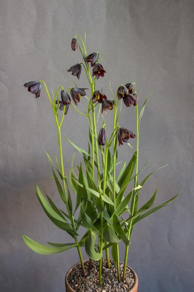 Fritillaria obliqua (Exhibitor: George Elder)