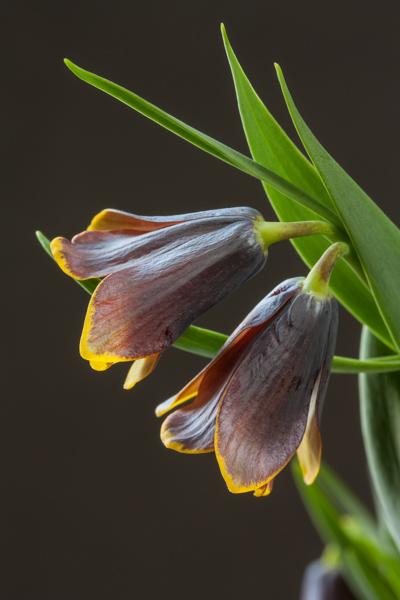 Fritillaria pinardii (Exhibitor: Michael Chadwick)