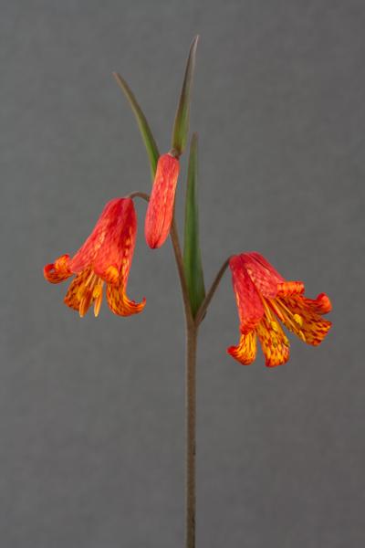 Fritillaria recurva (Exhibitor: Colin Everett)