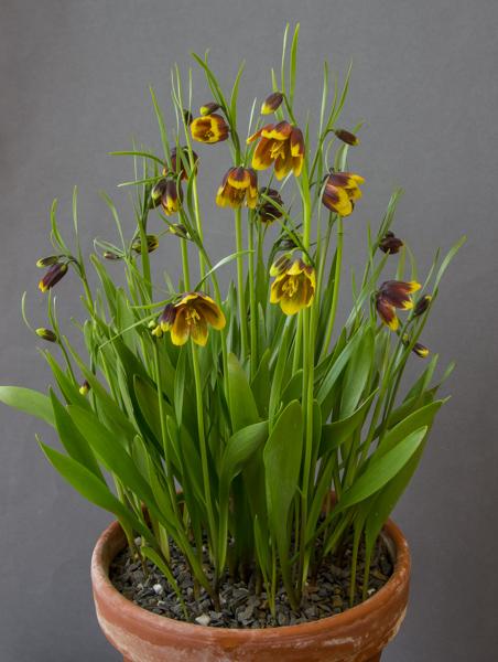 Fritillaria reuteri (Exhibitor: Bob & Rannveig Wallis)