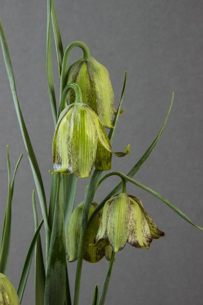 Fritillaria sororum (Exhibitor: Colin Everett)