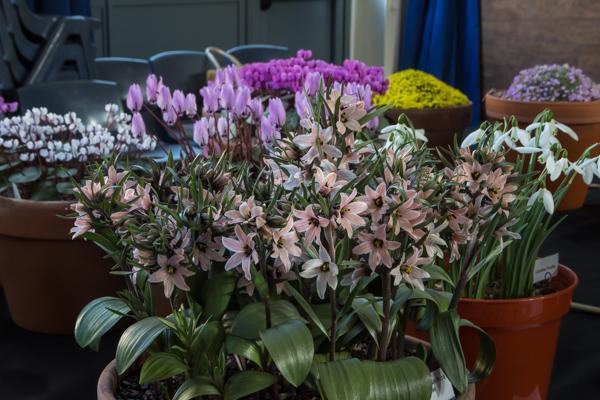 Fritillaria stenanthera (Exhibitor: George Elder)