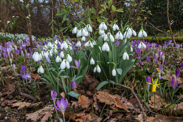 Galanthus 'Melanie Broughton'