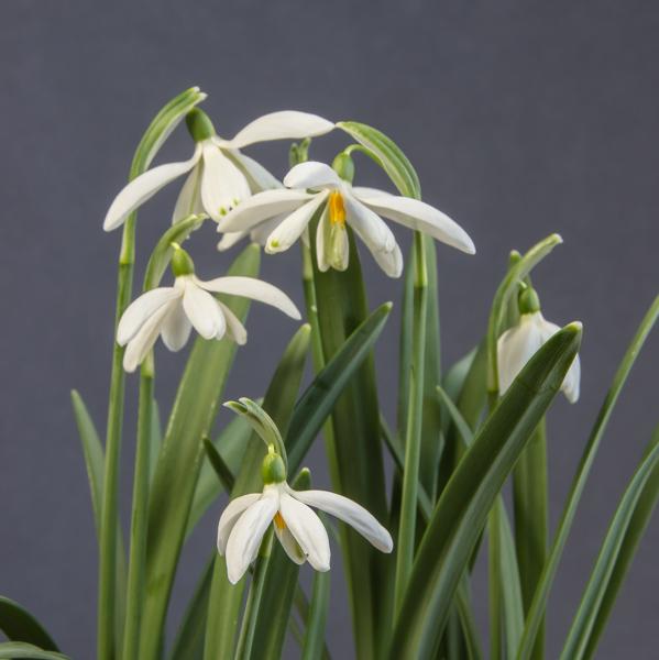Galanthus 'Minipoc' (Exhibitor: Ben & Paddy Parmee)