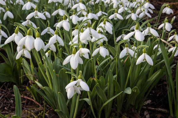 Galanthus 'Washfield Warham'