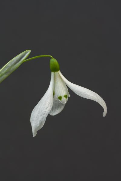 Galanthus krasnovii (Exhibitor: Deborah Leonard)