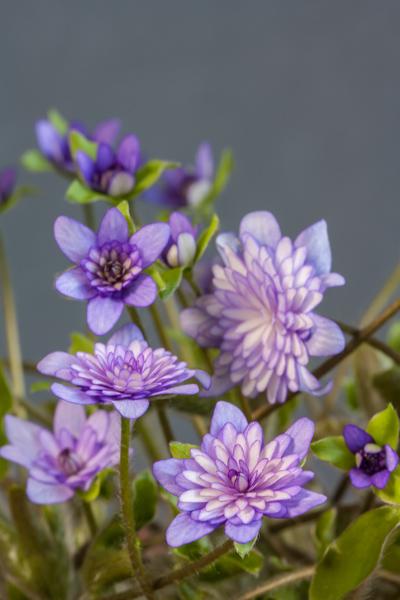 Hepatica japonica 'Murasaki-Shikibu' (Exhibitor: Anita Acton)