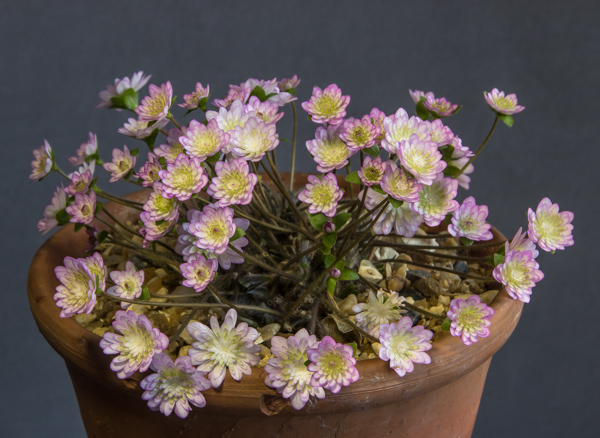 Hepatica japonica 'Yu Zuru' (Exhibitor: Anita Acton)
