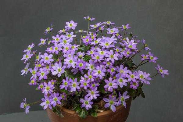 Hepatica japonica (Exhibitor: Bob Worsley)