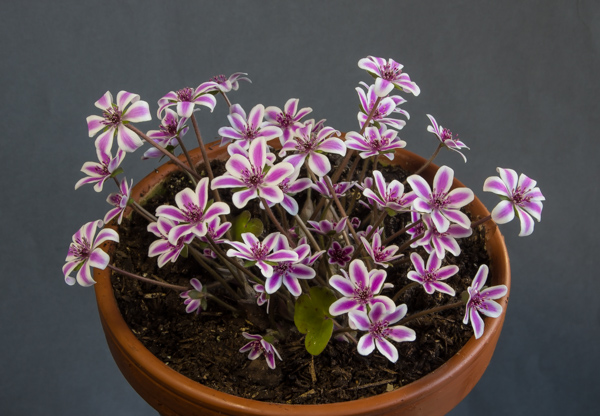 Hepatica japonica (Exhibitor: Lesley Travis)