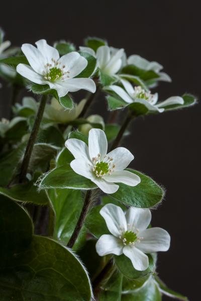 Hepatica maxima (Exhibitor: Roy Skidmore)