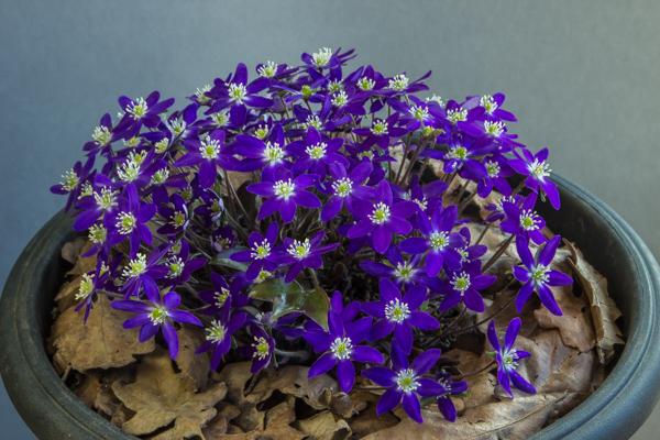 Hepatica nobilis var. japonica (Exhibitor: Chris Lilley)