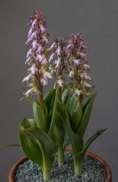 Himantoglossum robertianum (Exhibitor: Barry Tattersall)