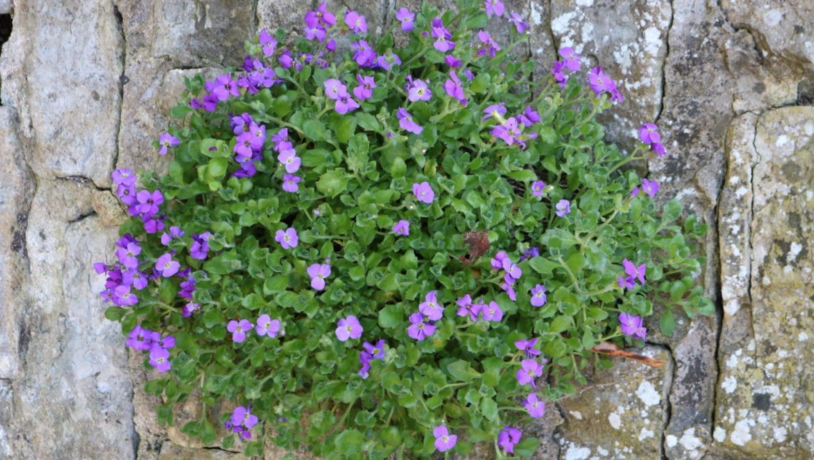 Aubretia grown from seed in the garden