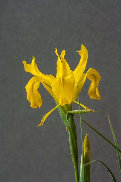 Iris aitchisonii (Exhibitor: Jim Almond)