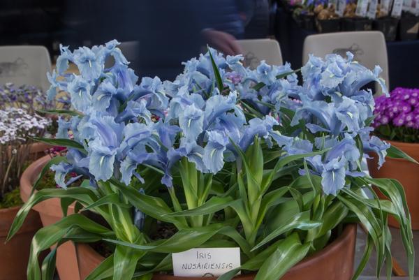 Iris nusairiensis (Exhibitor: Frank & Barbara Hoyle)