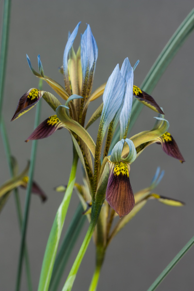 Iris pamphilica (Exhibitor: Colin & Elaine Barr)