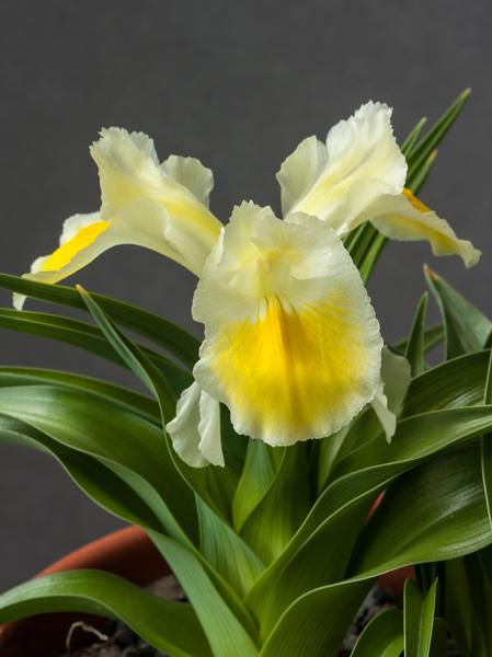 Iris peshmenii (Exhibitor: Bob & Rannveig Wallis)