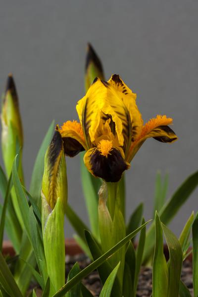 Iris pumila JJA 199+590 (Exhibitor: Lee & Julie Martin)