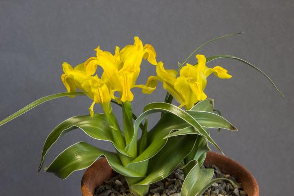 Iris svetlanae (Exhibitor: Bob & Rannveig Wallis)