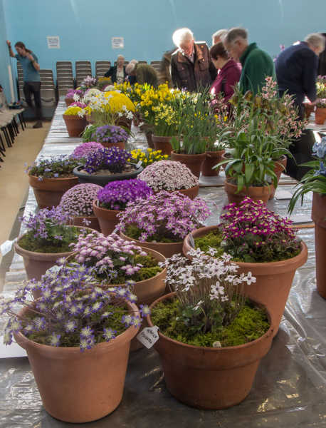 Six large pans of rock plants (Exhibitor: Brian & Shelagh Smethurst)