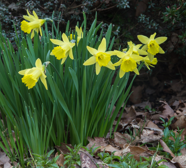 Narcissus 'Bowles Early Sulphur'