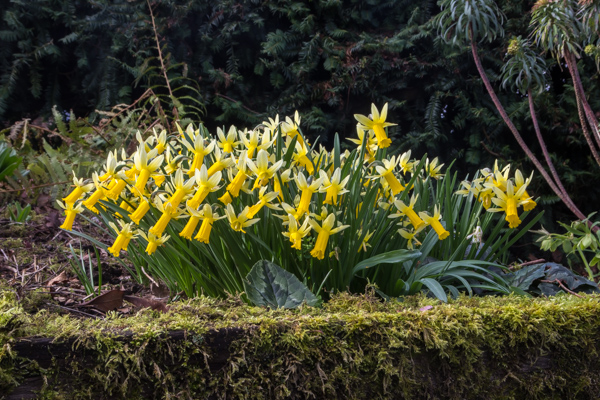 Narcissus 'Bowles Early Sulphur' x. cyclamineus