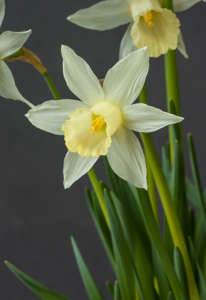 Narcissus 'Elka' (Exhibitor: Jon Evans)
