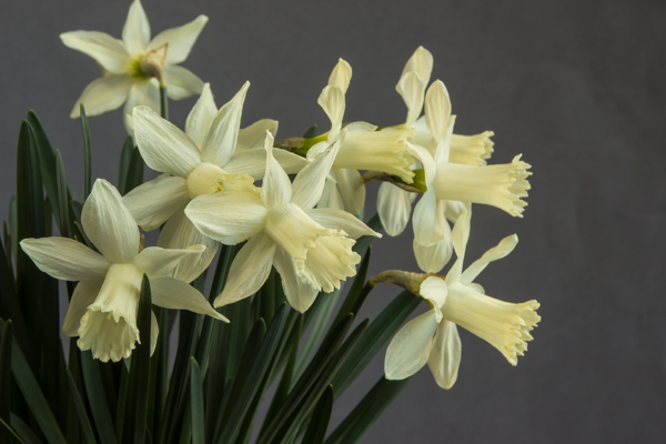 Narcissus 'Snow Baby' (Exhibitor: Ben & Paddy Parmee)