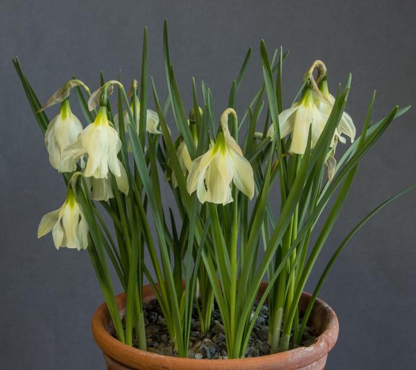 Narcissus alpestris (Exhibitor: Bob & Rannveig Wallis)