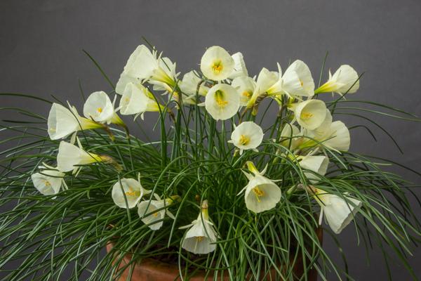 Narcissus bulbocodium 'White Petticoat' (Exhibitor: Ben & Paddy Parmee)