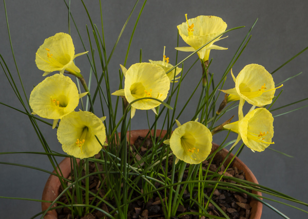 Narcissus bulbocodium citrinus (Exhibitor: Ben & Paddy Parmee)