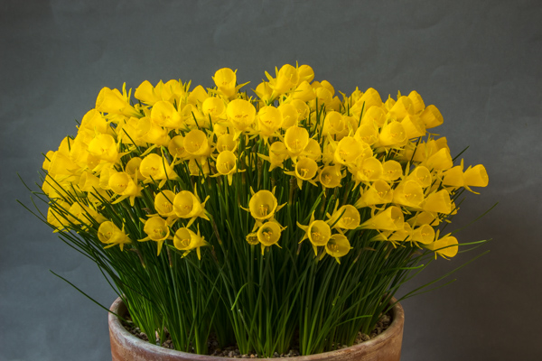 Narcissus bulbocodium conspicuus (Exhibitor: Jim McGregor)