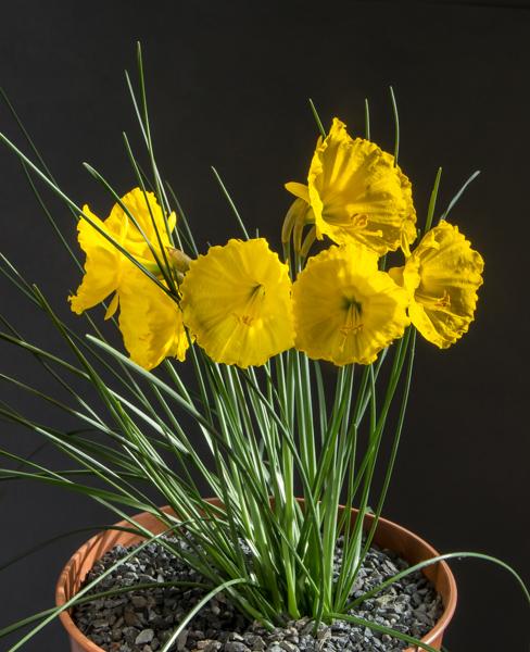 Narcissus bulbocodium ex. Tallos (Exhibitor: Paddy Smith)