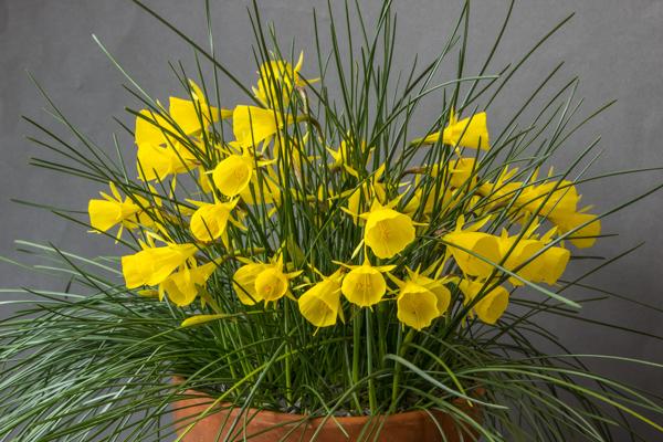 Narcissus bulbocodium x. triandrus (Exhibitor: Bob & Rannveig Wallis)