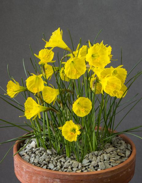 Narcissus bulbocodium (Exhibitor: Bob & Rannveig Wallis)