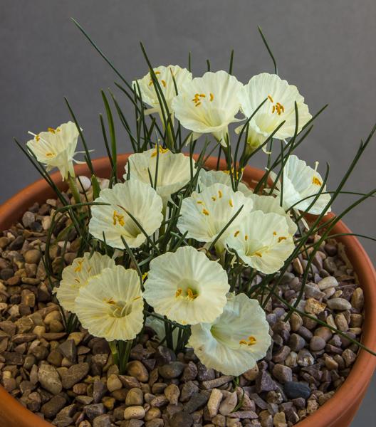 Narcissus cantabricus (Exhibitor: Ivor Betteridge)