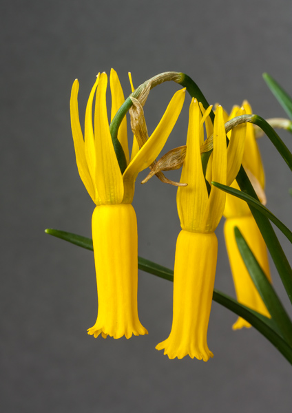 Narcissus cyclamineus (Exhibitor: Ben & Paddy Parmee)