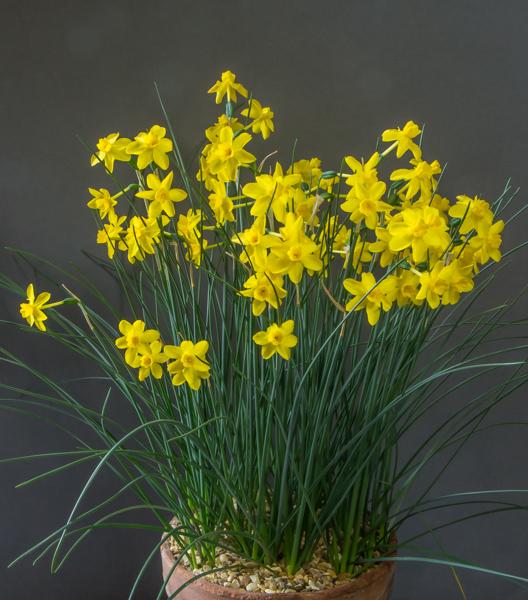 Narcissus henriquesii (Exhibitor: Maurice Bacon)