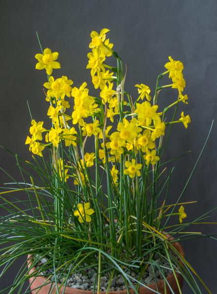 Narcissus jonquilla (Exhibitor: Bob & Rannveig Wallis)